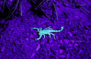Scorpions Can Live For As Much As A Year Without Eating